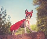 cute french bulldog in a super hero costume toned with a retro vintage instagram filter - 225430432