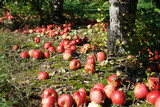 Fallen apples under the tree in the orchard - 225438405