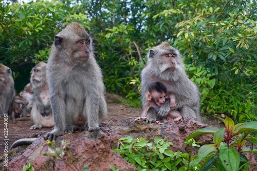 Fototapeta Monkey holding baby monkey on top of mount batur in Bali Indonesia