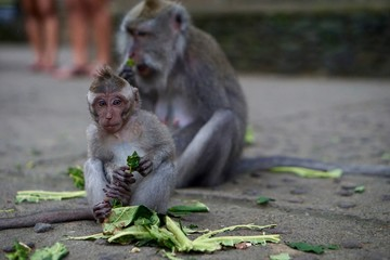 Baby Monkey in Monkey Forest - Bali Indonesia