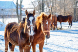 Sorrel foals with horses in frosty winter morning - 225449240