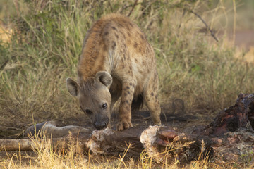 Spotted Hyena eating carcass of giraffe that was killed by lions © Richard Carey