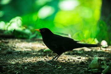 Black Bird with Orange Beak in the Forest