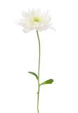 White chrysanthemum isolated on white background - 225456413