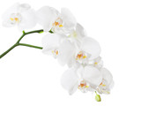 White orchid isolated on white background. - 225456432