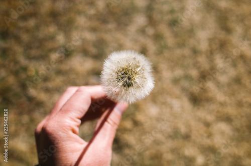 dandelion in hand - 225462820