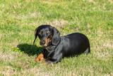 dachshund lying in the grass