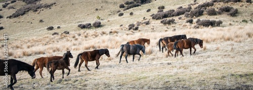 Herd of Kaimanawa wild horses running on the tussocks in the mountain ranges
