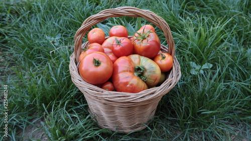 Foto Murales Cesta de mimbre con muchos tomates en la hierba recién cortados de la planta del huerto