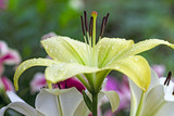 Pale yellow lily after rain close-up