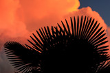 Silhouette of palm trees on sunset background - 225517877