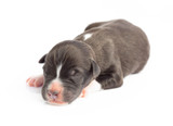 Closeup cute new born puppy black color isolated on white background, pet health care concept, selective focus