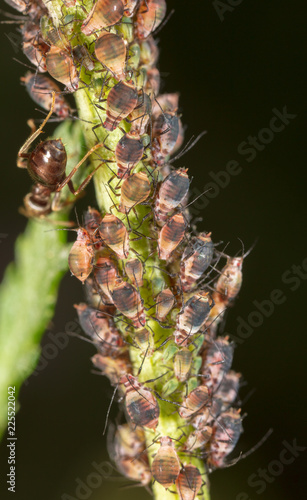 Foto Murales Aphids are like a parasite on a plant