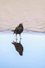 portrait of black city bird Starling standing in the Park in spring in a clear blue puddle