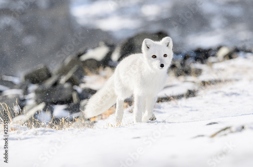 Arctic fox cub (Vulpes lagopus) in autumn snow in Dovre mountains, Norway © STUEDAL