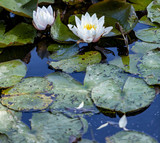 Lotus flower on the water