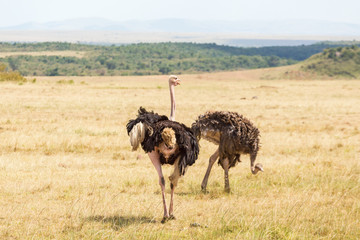 Ostriches on the African savanna
