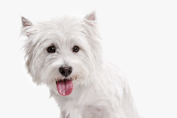 The west highland terrier dog in front of white studio background © master1305