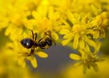 Ameise auf gelben Blüten