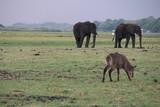 Elefanten - Flussdurchquerung