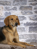 Russian hound dog. Image taken in a studio. - 225554887