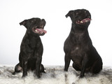 American staffordshire terriers isolated on white. - 225566630