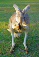 A kangaroo on the grass in a park in Australia © eqroy