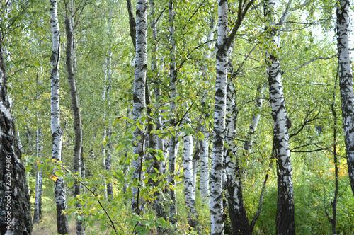 birchs in the forest