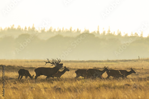 Herd of red deer cervus elaphus rutting and roaring during sunset