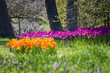 Spring Tulips - 225590225