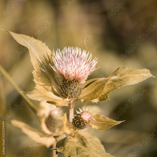 Silybum plant close-up in the autumn garden - 225594499