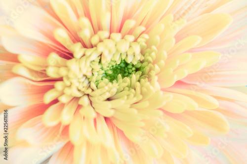 Close up background of yellow chrysanthemum flower, macro - 225611036