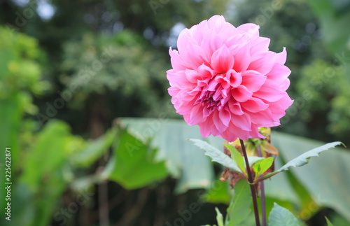 Fresh Bright Beautiful Pink Blooming Dahlia Wild Ornamental Flower. In the language of flowers, Dahlias represent dignity and stability, as well as meaning my gratitude exceeds your care.