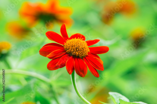 Red Mexican sunflower and green leaves, Close up in the garden - 225641067