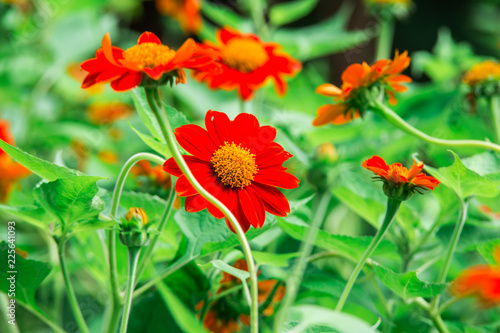 Leinwandbild Motiv Red Mexican sunflower and green leaves, Close up in the garden
