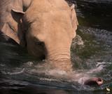 Elefant, wilde Tiere