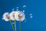 dandelion © Gresei