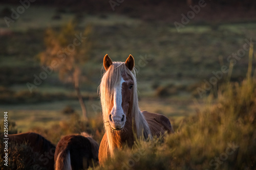 Wild horse at sunst