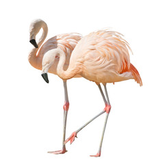 isolated on white two flamingo © Alexander Potapov