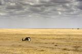 panoramic view of the savannah with skull, Serengeti National Park, Tanzania, Africa - 225691222