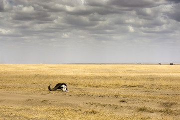 panoramic view of the savannah with skull, Serengeti National Park, Tanzania, Africa