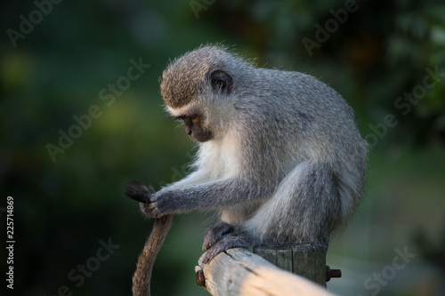 Fototapeta Monkey Forest