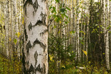background - white tree trunks in a birch grove, one of them in the foreground - 225717812