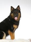 Bohemian shepherd dog portrait. Image taken in a studio. - 225730018