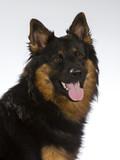 Bohemian shepherd dog portrait. Image taken in a studio. - 225730035