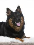 Bohemian shepherd dog portrait. Image taken in a studio. - 225730066