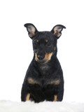 Puppy dog portrait. Image taken in a studio with white background. The dog breed is heeler. - 225731055