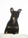 Puppy dog portrait. Image taken in a studio with white background. The dog breed is heeler. - 225731070