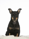 Puppy dog portrait. Image taken in a studio with white background. The dog breed is heeler. - 225731082