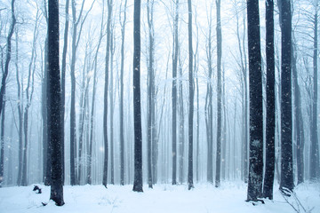 Magic winter beech tree forest during snowfall.